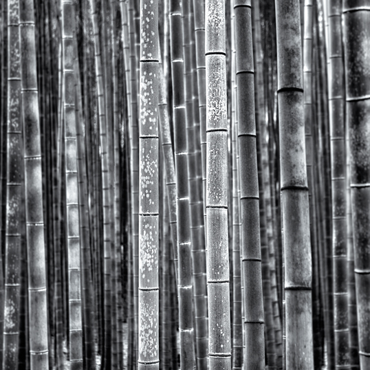 Link to fine art image of bamboo.