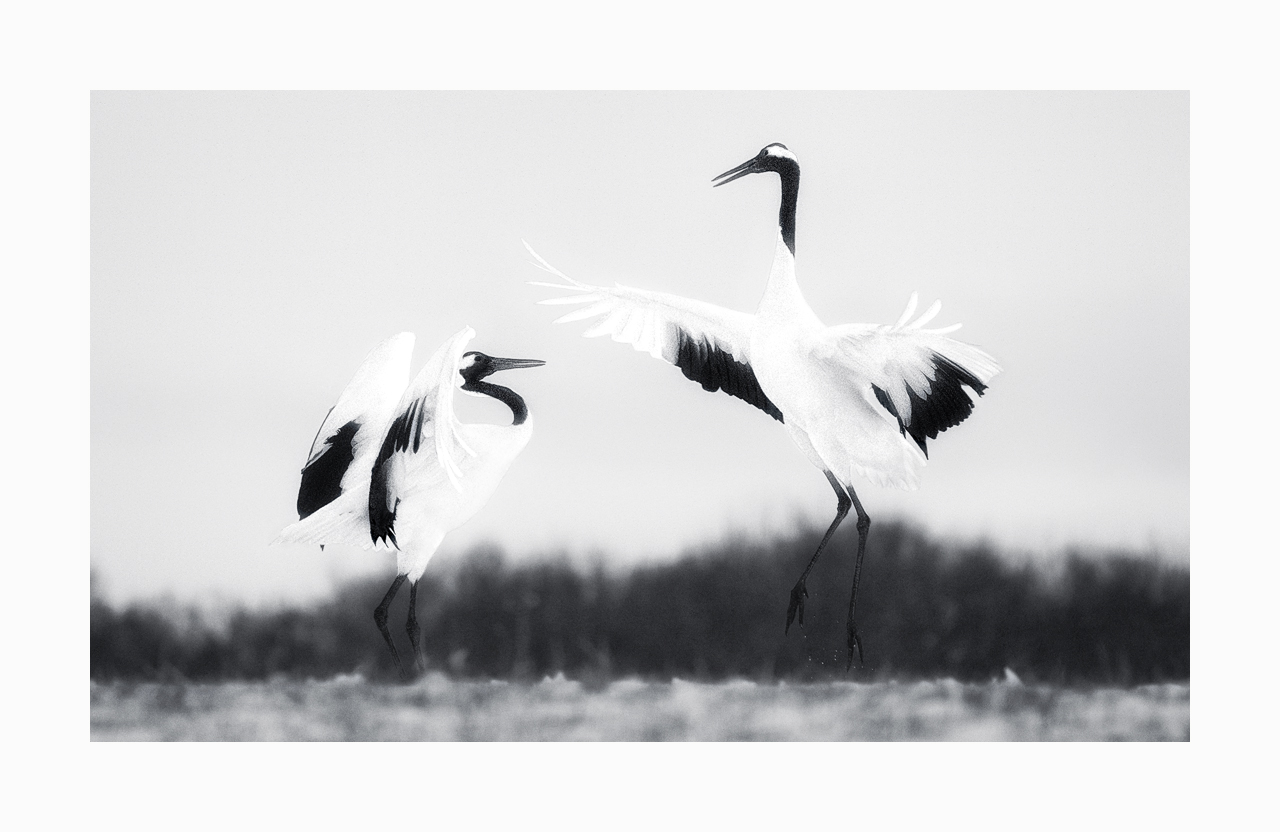 Fine art black and white image of red-crowned cranes dancing, Kushiro, Hokkaido, Japan