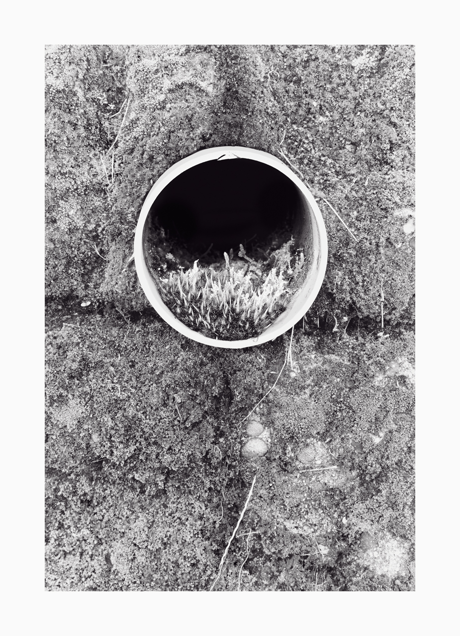 Fine art black and white image of plants growing in a drainage pipe in a wall.