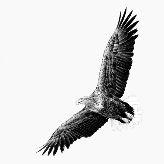 Link to White-Tailed Eagle on the Hunt image