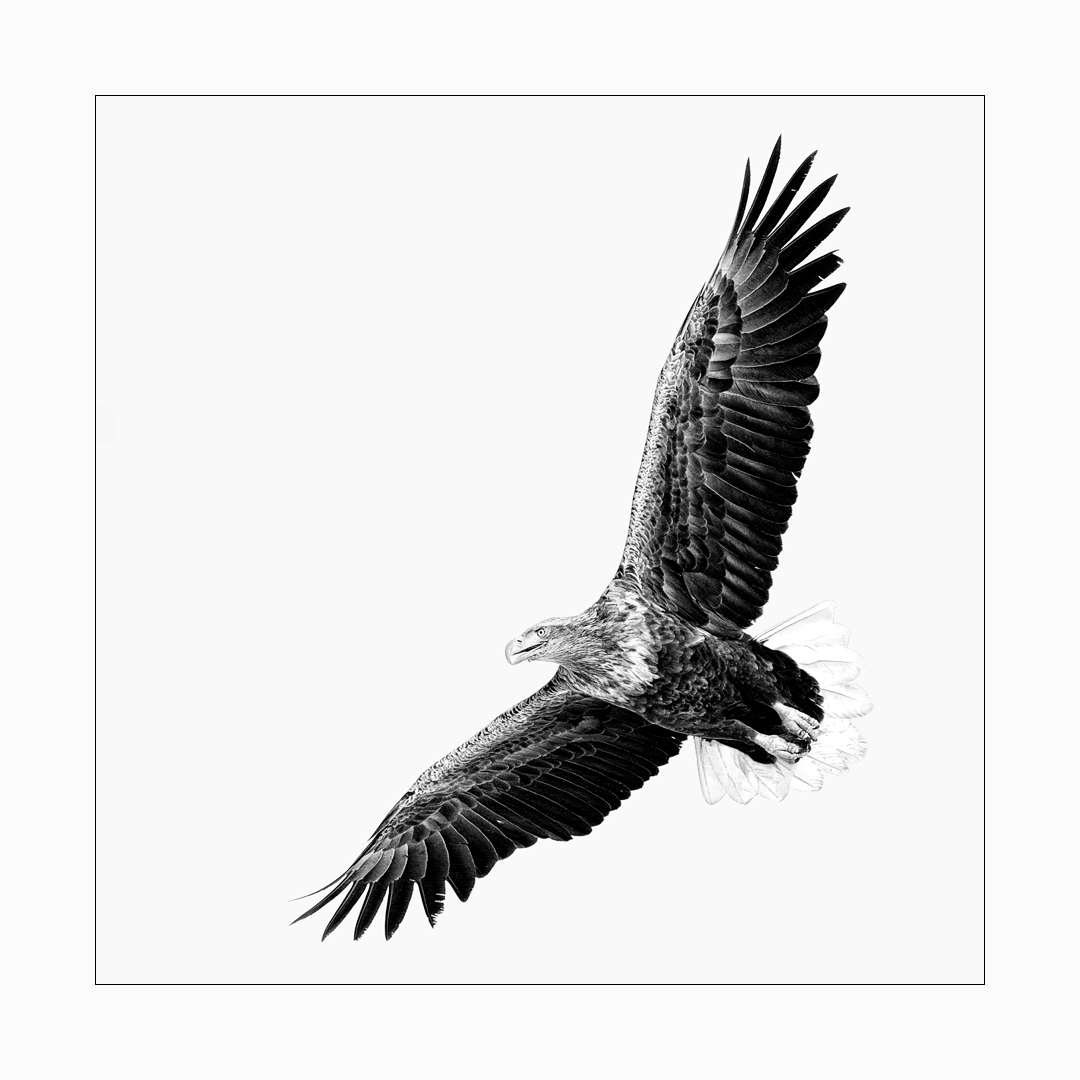 Fine art image of White-Tailed Eagle in flight, on the hunt