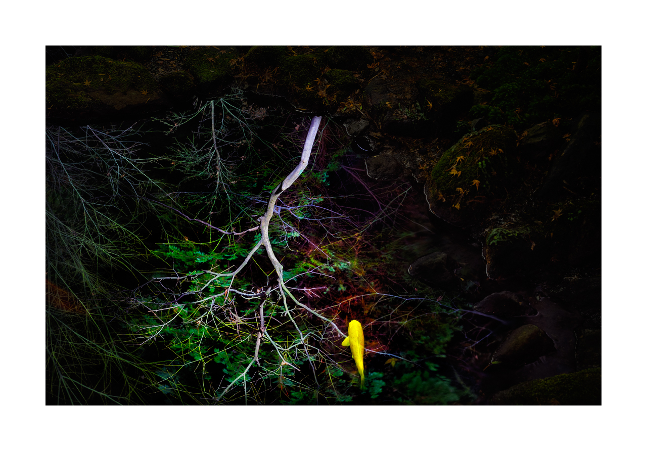Fine art image of a yellow koi fish swimming in a dark pond that is reflecting an overhead tree.