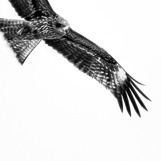 Link to fine art image: Hovering Black Kite
