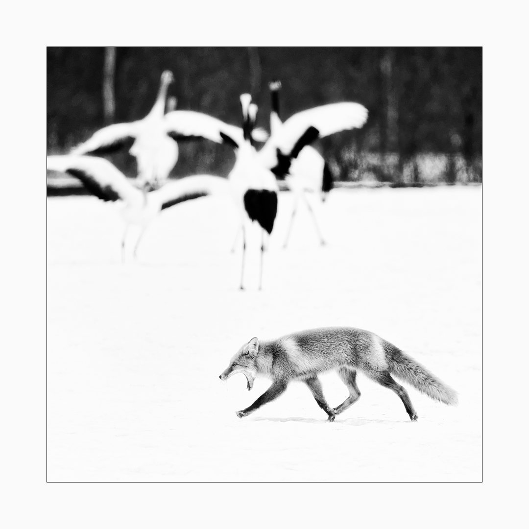 Fine art image of red fox crossing a snow field with red-crowned cranes.