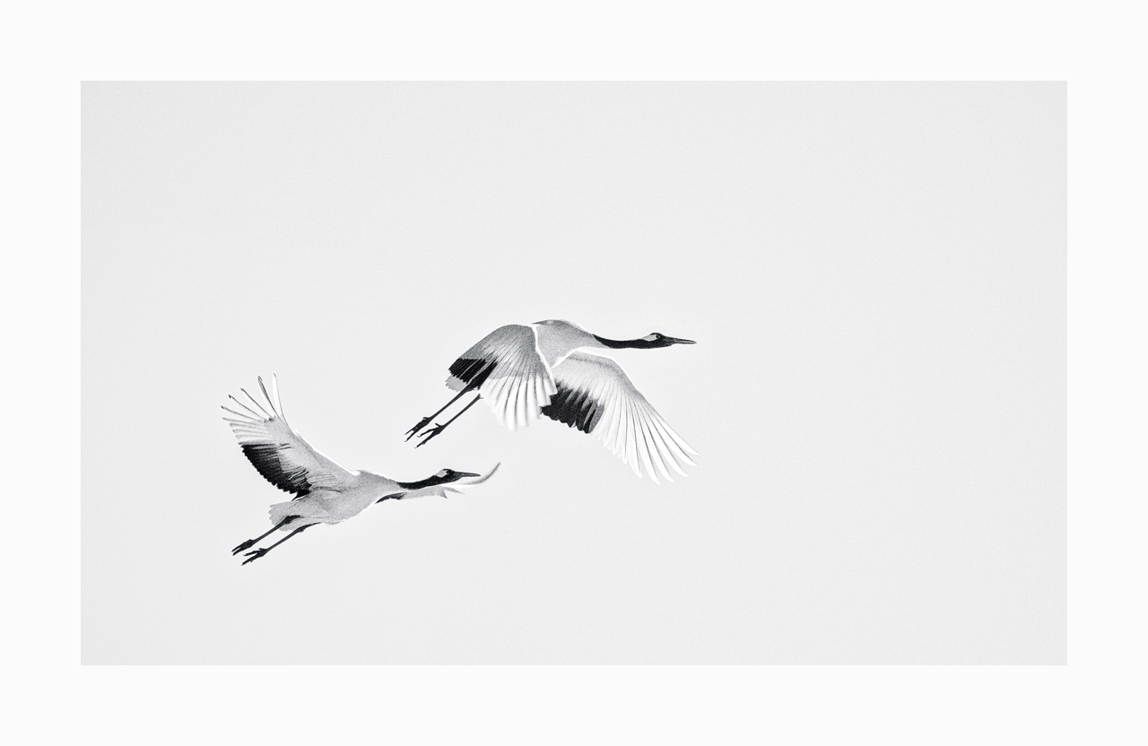 Fine art image of two red-crowned cranes in flight, Hokkaido, Japan.