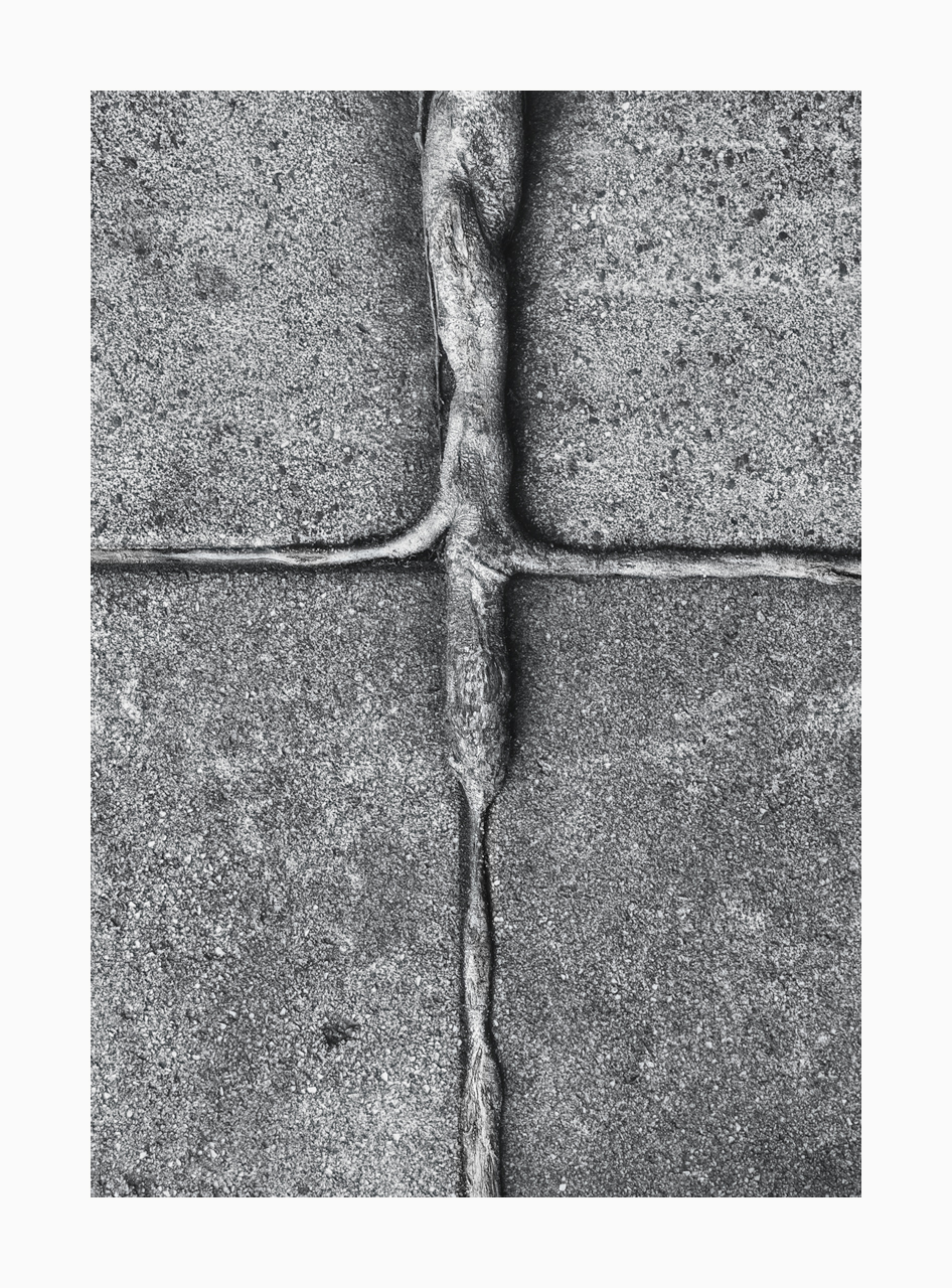 Fine art image of tree root growing along pavement stone lines.